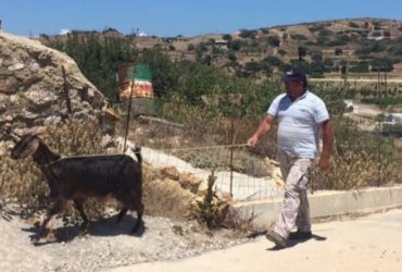 Capre e Pecore: le Situazioni Surreali.